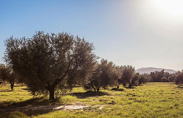 「Oleiva」チュニジアの伝統的なオリーブオイル